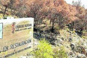 CGT exige al Consell que actúe de inmediato contra la plaga del «Tomicus» en los pinares que podría afectar a 150.000 árboles del País Valencià
